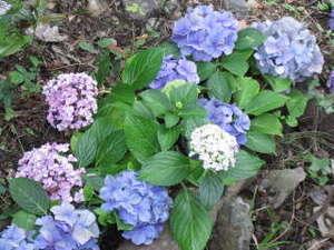 今年は紫陽花が早く咲きそうです。玄関周辺に沢山植えました。