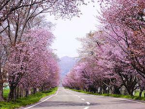 アエルから徒歩5分の『優駿さくらロード』。満開時は桜のトンネルが出来上がります!