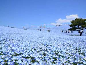 国営ひたち海浜公園みはらしの丘のネモフィラ。世界の絶景!天空まで続く青一色の世界。