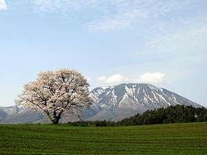 春の小岩井農場。一本桜と岩手山、一本桜はNHKどんと晴れですっかり有名に。
