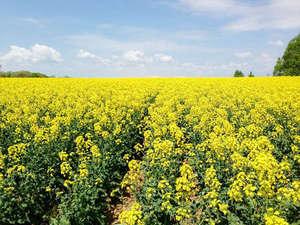 【満開の菜の花】5月下旬から6月上旬にかけて見事な黄色いじゅうたんが広がっています。