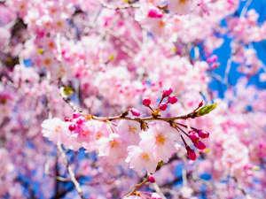 会津の桜はとても綺麗です。見頃は4月常時順。福島は高低差があり、長く桜を楽しめます。