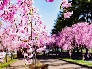 喜多方の日中線跡地を利用してつくられた桜並木ロード。約1000本の桜並木を散策♪