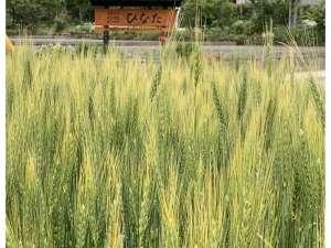 小麦畑・春よ恋