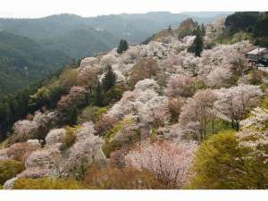 一目千本と称される吉野山の桜。見頃は例年4月上旬~15日頃。当館から車で約60分です