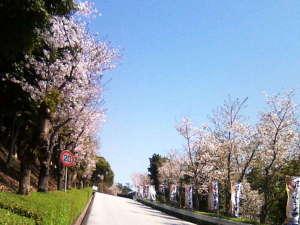【春のホテル周辺イメージ】ホテル玄関に続く桜の坂道。桜吹雪の中を走り抜けると気持ちがよいです。