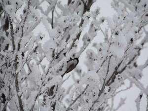 雪の日、庭でシジュウカラを見つけました。白銀の世界の中、自然は生き生きしています。