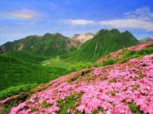 【ミヤマキリシマ】九州の火山帯にしか生息しない高山植物で、5月中旬から6月上旬にかけて見頃を迎えます