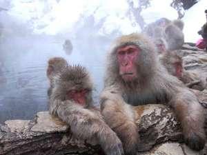 【地獄谷野猿公苑】野生のニホンザルを間近で見れます。