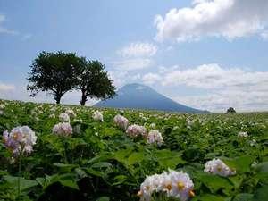 羊蹄山とジャガイモ花畑