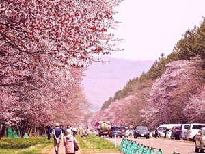 【二十間道路桜並木】当ホテルより車で約30分。5月上旬から見頃。