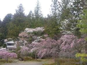 成慶院の庭園に咲き誇る桜