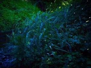 6月には敷地内で自然のホタルを鑑賞いただけます。