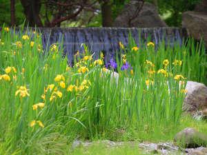 初夏の庭園に咲くキショウブ