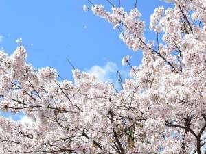 【釜石ブルーの青空と桜】春の訪れを告げる唐丹(とうに)地区の桜並木※例年4月中旬~下旬に開花
