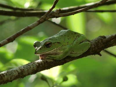 ♪天然記念物のモリアオガエルが.中庭に来たよ.☆彡 /真砂館のブログ ...
