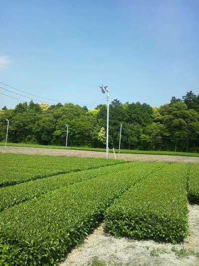 茶畑に立っている扇風機は何のためにあるのか?