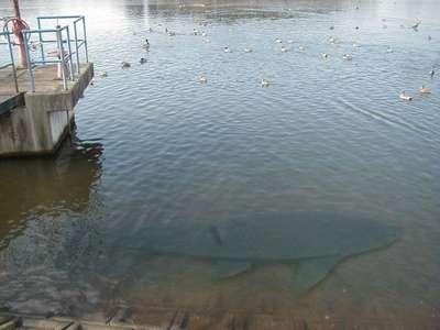 uma 謎の巨大魚 スマイルホテル十和田のブログ 宿泊予約は じゃらん