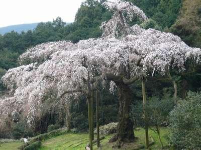 長興山紹太寺のしだれ桜がほぼ ...