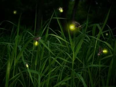 幻想的な「蛍の夕べ」