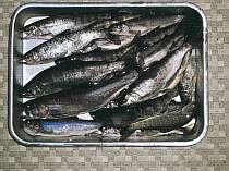 清流の岩魚を一杯釣れます