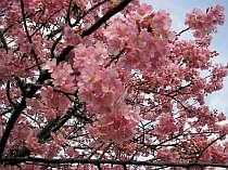 2月中旬~3月初旬迄、早咲きピンクの河津桜が見事