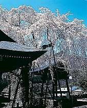 山桜 八重桜 5月中まで楽しめる飛騨路  お花見スロードライブ。