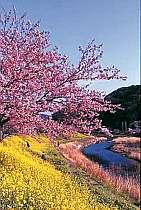 春の訪れ…青野川沿いにみなみの桜と菜の花(2/5~3/10までイベントあり 宿より車5分)