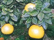 7月2日・晩白柚の樹オーナー様限定プラン