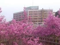 【桜】春にはホテル周辺で桜が咲き誇ります