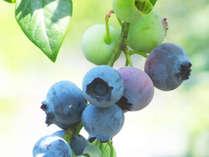 【ブルーベリー収穫体験】豊富な種類の食べ比べをお楽しみいただけます。