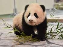 赤ちゃんパンダ「結浜」