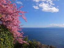 河津桜と大島望む絶景!【2017年2月撮影】(一例)
