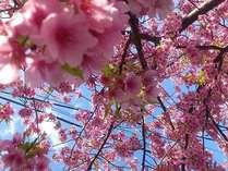 早咲きの河津桜。とてもきれいですよ、ぜひ見に来てください。