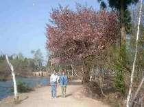 いもり池と山桜
