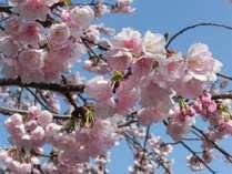 3月上旬頃、伊豆高原駅周辺では「大寒桜(おおかんさくら)」がお楽しみ頂けます。