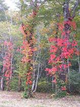 【秋】玉原の紅葉