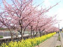 *<河津桜>三浦海岸駅から小松ヶ池公園にかけて、線路沿いに咲き誇ります。