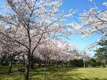 明鏡洞がある「城山公園」は、桜の名所です♪