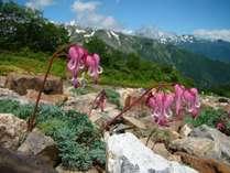 ■北アルプスには高山植物の女王と呼ばれるコマクサも