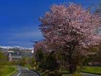 初夏外観:キロロの桜は例年5月の終わり頃が見ごろをむかえます。
