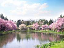 軽井沢の桜の見ごろはGW頃!敷地内をお散歩しながらお花見も♪
