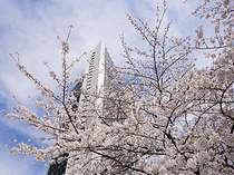 毎年3月下旬~4月上旬、桜坂は見事な桜が咲き乱れます。
