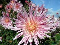 自家農園の食用菊「もってのほか」はシャキシャキとした歯触りで絶品です
