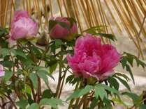 【季節の花】寒牡丹 長谷寺
