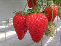 【期間限定】今が旬☆甘いイチゴを堪能♪いちご狩り体験&60分食べ放題付き*2食付プラン