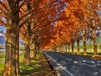 【メタセコイヤ並木・秋】新・日本街路樹百景!フォトジェニックな光景が広がります!
