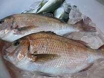 磯料理用の調理前、、地産の鯛と鯵です。伊勢えびや鮑のリクエストも承ってます。