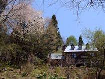 春一番、山桜と水仙が嬉しい