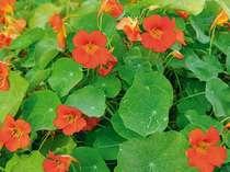 【敷地内の植物達】ハーブの一種で葉も花も食用になるナスタチウム